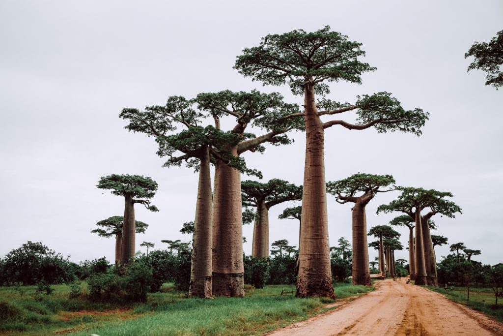 Gewonnen wird das Baobaböl aus den Samen des Affenbrotbaumes.